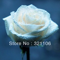 FREE SHIP 400 Seeds China Rare White Rose Flower To Lover  ITEM LABEL:ROSE3