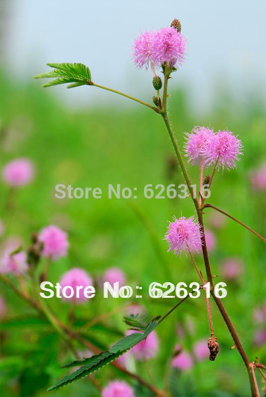 Карликовое дерево 100pcs/lot & Mimosa Pudica DIY