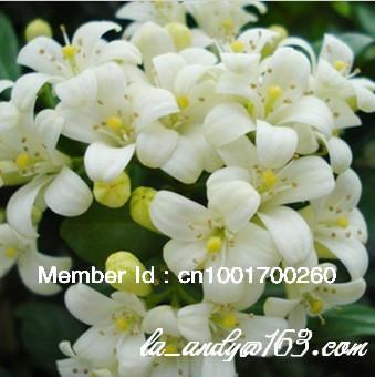 50 pcs FRAGRANT FLOWER  MURRAYA PANICULATE WHITE JASMINE HERMETIC PACKAGE RUTACEA FAMILY NEW SEEDS