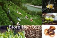 2014 Autumn New Crop , 30 pcs Chinese Green Tea Tree CAMELLIA SINENSIS SEEDS