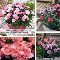 Carnation  (Mixed)  Seeds * 1 Pack  ( 50 Seeds )  *  Dianthus caryophyllus *  Flower Seeds * Plant seeds * Free Shipping