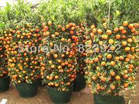 19 SEEDS CLIMBING SMALL ORANGE SEEDS SWEET LOVELY FRUIT SEEDS DIY HOME GARDEN BACKYARD  HEIRLOOM  FREE SHIPPING