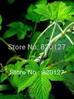 100 Seeds Gynostemma pentaphyllum jiaogulan Seeds from China Great Yao mountain